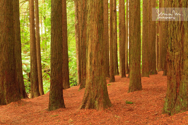 Californian Redwoods, Great Otway National Park, Victoria