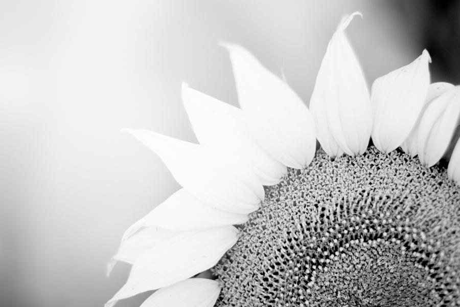 Sunflower Country – Quirindi & Surrounds