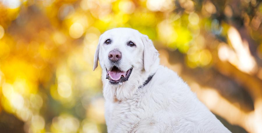 Sao The Labrador Retriever – Sydney Pet Photographer