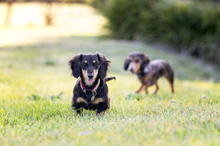 Apple & Olive – Sydney Pet Photography