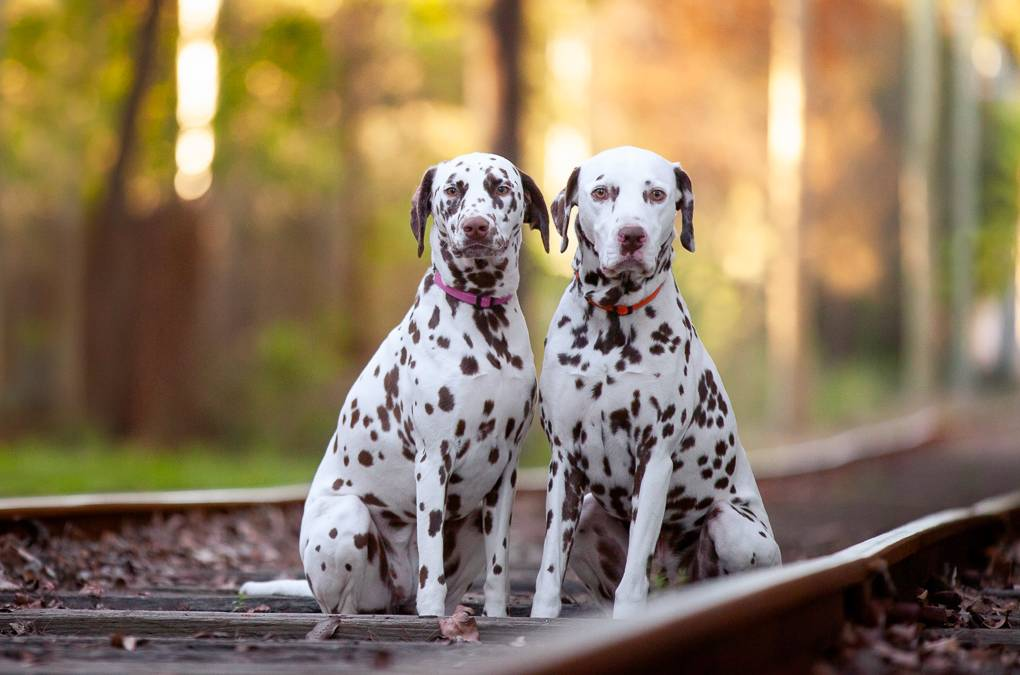 Ned & Lola the Dalmatians
