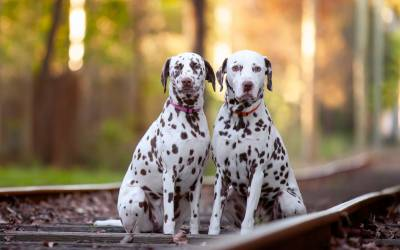 Ned & Lola the Dalmatians
