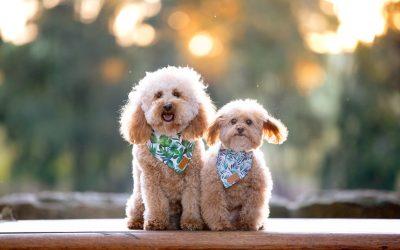 Kelsey & Archibold – Poodle love