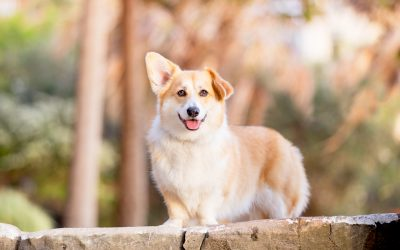 Dumpling The Corgi – In The City