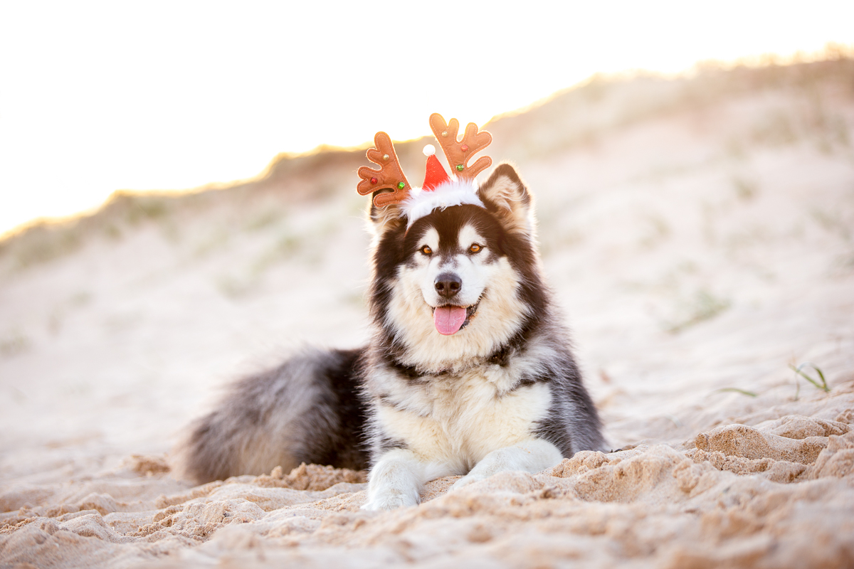 Alaskan-Malamute on a beach