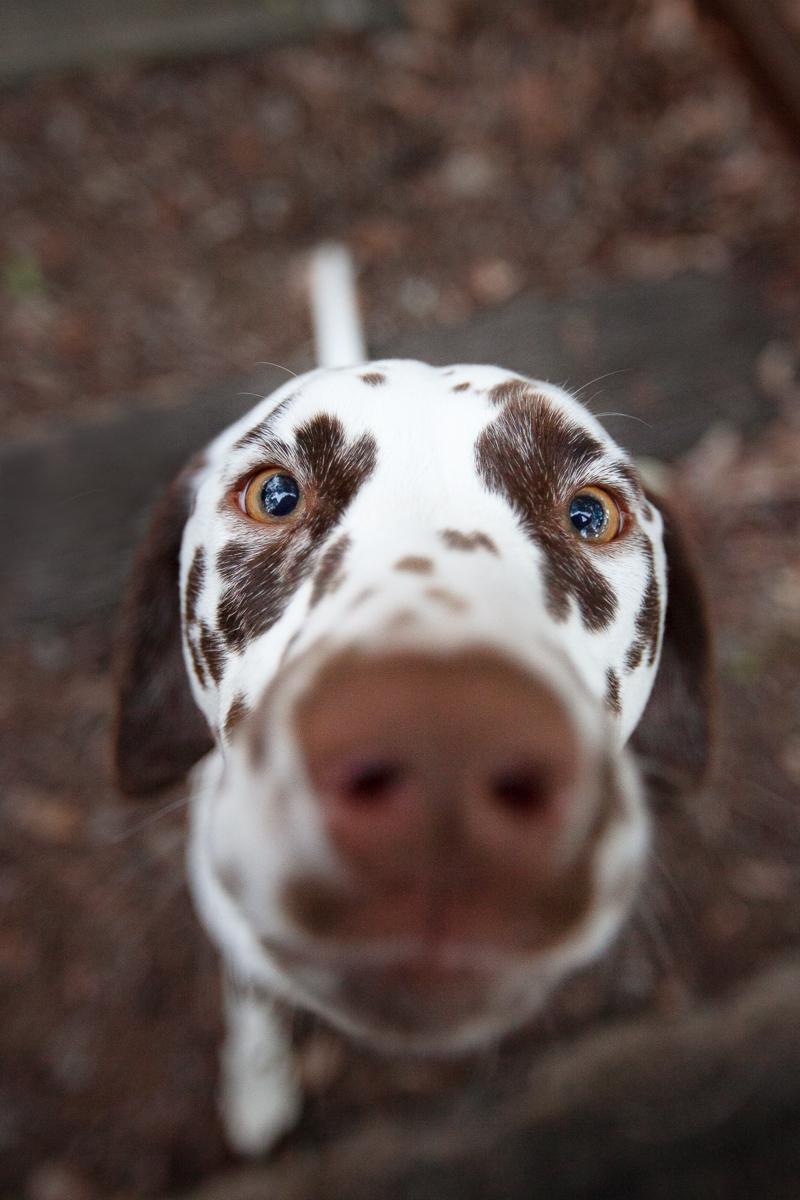 Dalmatian-Closeup