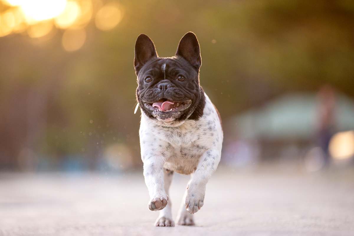 French Bulldog-Photoshoot