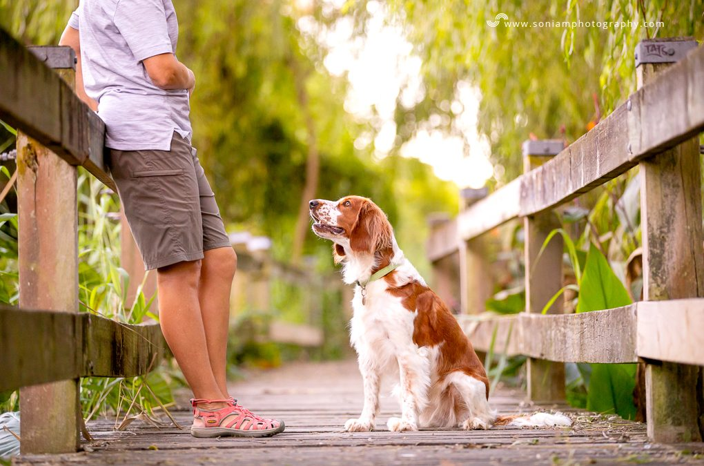 Welsh Springer Spaniel – Jaffa