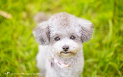 Kirby The Toy Poodle