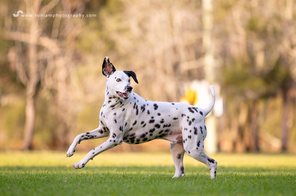 Luka The Dalmatian – Photo Session in The Sutherland Shire