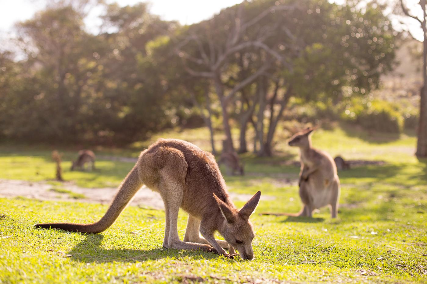 Cave Beach Kangaroos